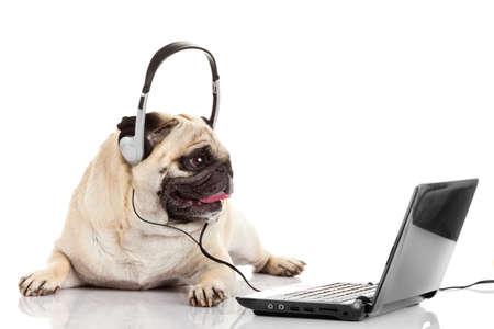 call center agent. pug dog telephone operator