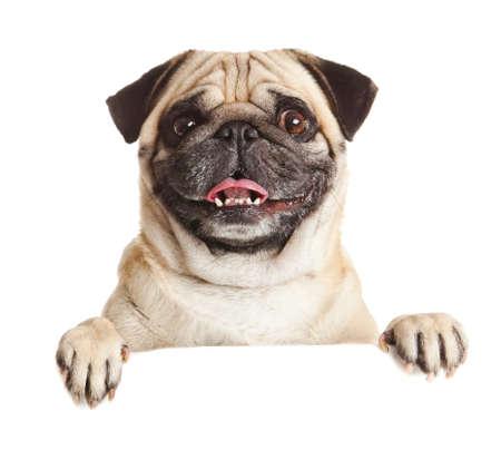 Pug Hond met lege billboard. Hond bovenstaande banner of teken. Pug hond portret over een witte achtergrond