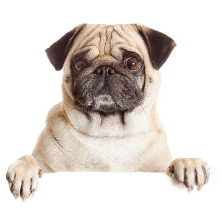 peeking: Pug Dog with blank billboard. Dog above banner or sign. Pug dog portrait over white background