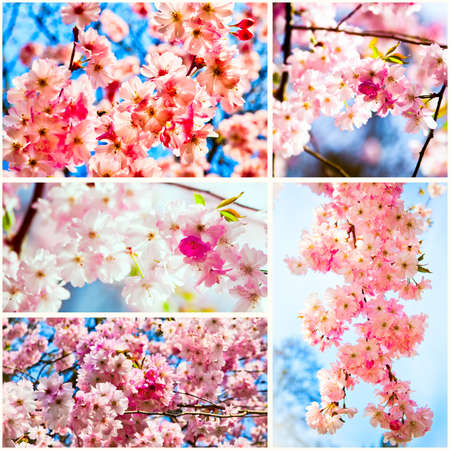 Beautiful Cherry blossom , pink sakura flower photo