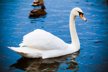 Noble swan. white swan in blue water photo
