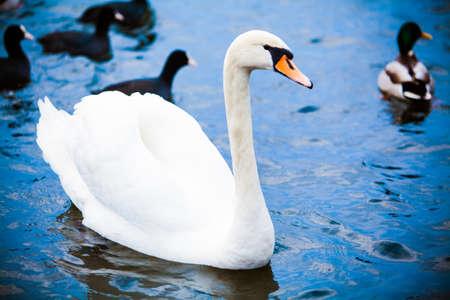 Noble swan. white swan in blue water Reklamní fotografie