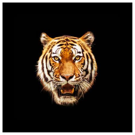 호랑이의 머리입니다. 호랑이 얼굴의 클로즈업. 검은 색 바탕에 호랑이