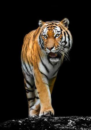 Tiger on black 版權商用圖片 - 26786795