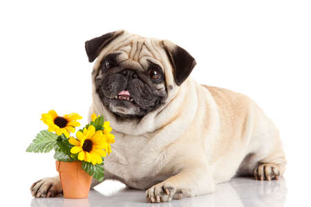 pug dog isolated on a white  photo