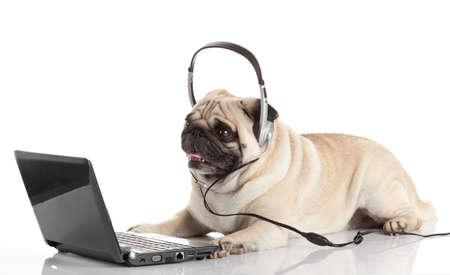pug gdog  on looking at a laptop computer. photo