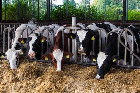 Mucche su Farm Archivio Fotografico - 28359946