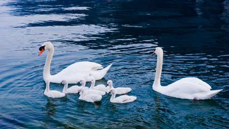 mute swan: Swan with chicks. Mute swan family