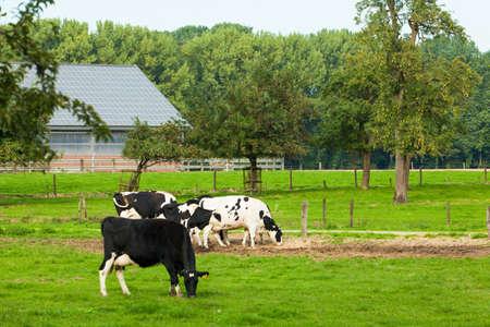 heffer: cows on meadow Stock Photo