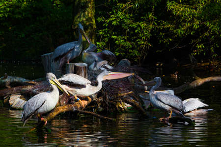Pelicans on pond photo