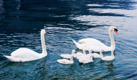 ugly duckling: Swan with chicks. Mute swan family