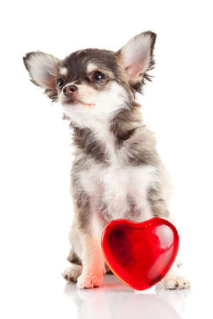 adorable Chihuahua puppy. Cute Chihuahua dog on a white background. photo