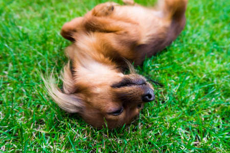 russkiy: dog in the grass.  young dog  in the meadow Stock Photo
