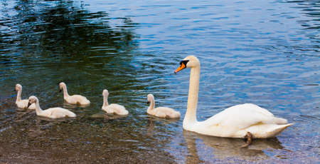 swimming swan: Swan with chicks. Mute swan family.  Beautiful young swans in lake Stock Photo