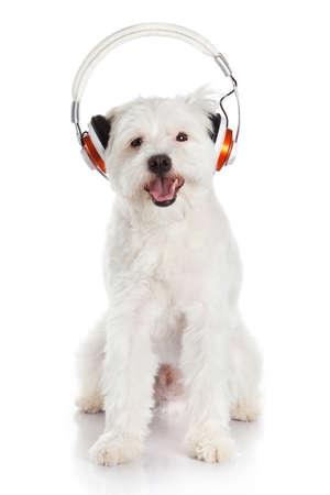 white dog with headphone isolated on white background. dog listening to music
