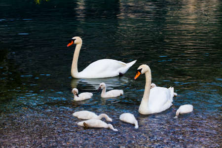 ugly duckling: Swan with chicks. Mute swan family.  Beautiful young swans in lake Stock Photo