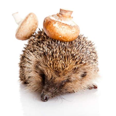 Hedgehog, isolated on white photo