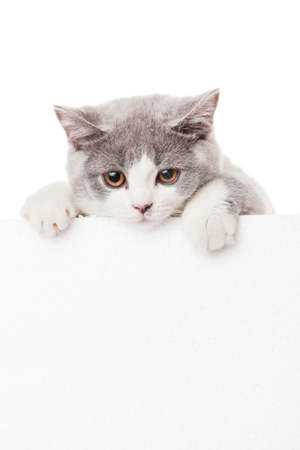 Cute kitten with blank billboard Banco de Imagens - 31598468