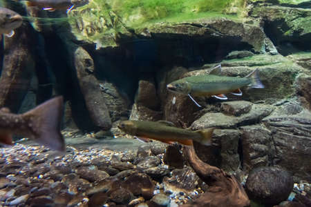 Underwater image of sea trout photo