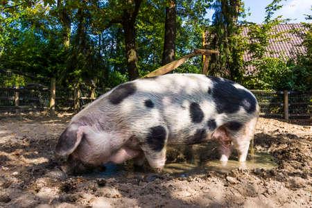Pig in a mud. big pig standing in mud photo