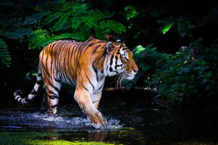 tigre blanc: Tiger dans l'eau.