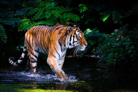 tiger white: Tiger in water. Stock Photo