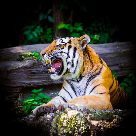 Tiger. Beautiful Tiger Portrait photo