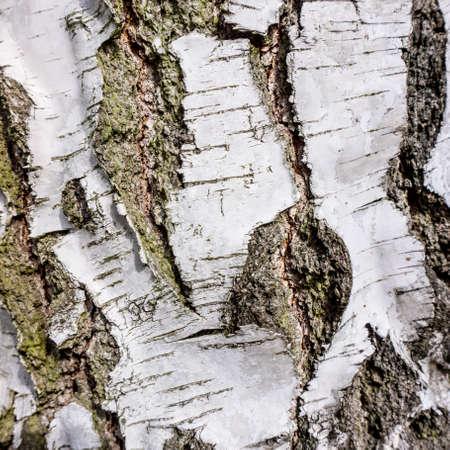 Texture of birch bark photo