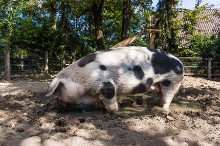 Pig in a mud big pig standing in mud photo