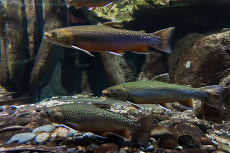 Underwater image of sea trout. Brook trout