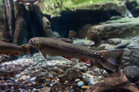 brook trout: Underwater image of sea trout. Brook trout