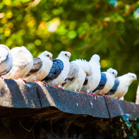 Group of pigeons. doves. photo