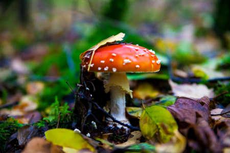 amanita muscaria. Amanita poisonous mushroom. mushroom in the grass. beautiful red and white toadstool photo