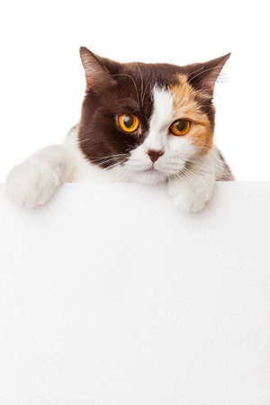 Cute kitten with blank billboard.  Lovely British Shorthair kitten photo