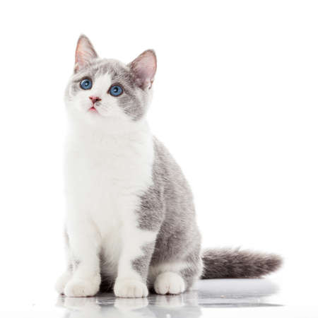 british shorthair: British shorthair cat on a white background. british cat isolated