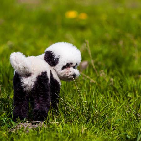 dog grooming: dog repainted on panda. groomed dog. pet grooming.