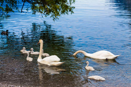 ugly duckling: Swan with chicks. Swan and its babies.