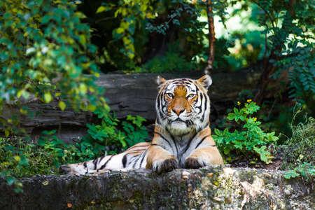 tigress: Beautiful tiger.