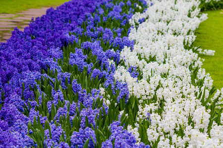 marvellous: Beautiful spring flowers. hyacinths. spring garden. Colorful flowers Stock Photo