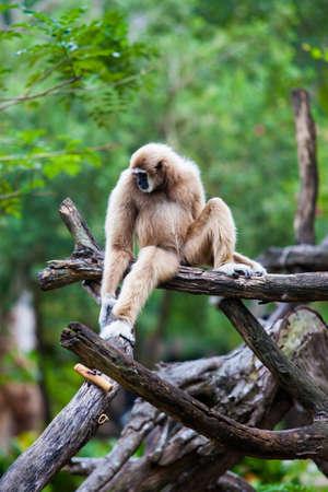 handed gibbon: Handed Gibbon