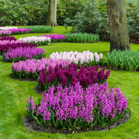 hyacinths: Beautiful spring flowers. hyacinths. spring garden. Colorful flowers Stock Photo