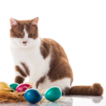cat and easter eggs on white background.  funny british kitten with Easter egg Reklamní fotografie
