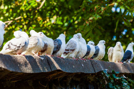 crowd tail: Pigeons on the roof Stock Photo