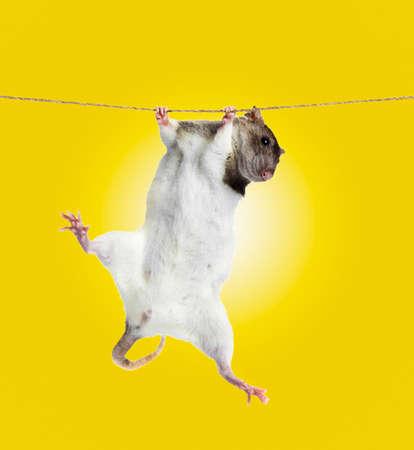 rata: peque�a rata divertida en la cuerda