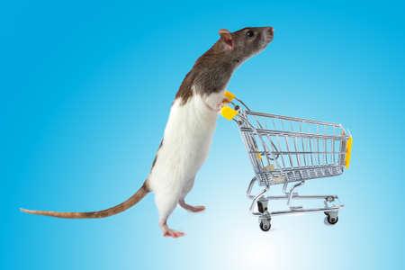 rata: Rata con carrito de compras en el fondo azul. concepto de tienda de mascotas. rata con una cesta
