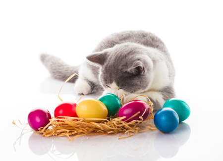 eastertime: cat and easter eggs on white background.  funny british kitten with Easter egg Stock Photo