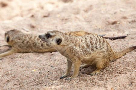 suricatta: Alert Suricate or Meerkat (Suricata suricatta)