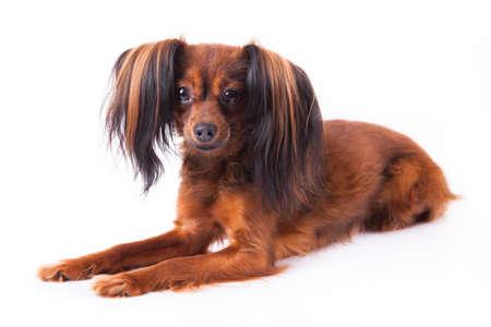 Russian little dog photo
