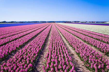 campo de flores: jacinto de flores