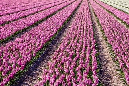 hyacinths: hyacinths in a dutch bulb field